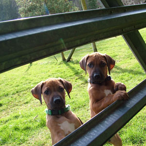 Welcome to ApacheRidge Ranch Home of Healthy, Hardy, and Happy Ridgebacks.