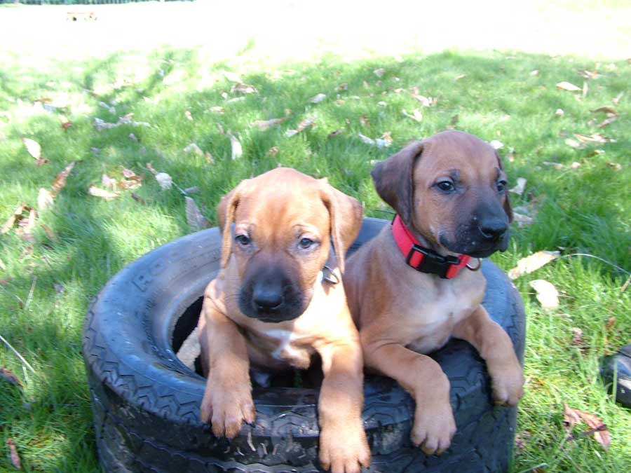 Puppies - ApacheRidge Ranch Rhodesian Ridgebacks - 360-878-4272